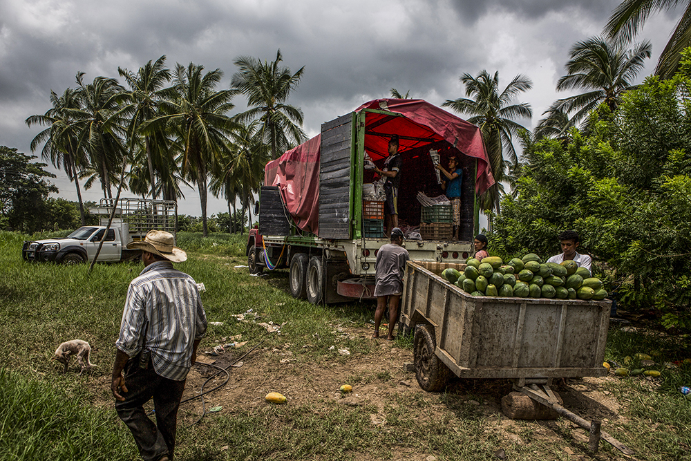 "Jose Maria Morelos, Oaxaca, August 22nd,2014: Loading a papaya truck, the main economic activity in the region. For years Mexico's black communities have lived isolated and often forgotten, but still practicing some of the traditions of their African descendants, largely slaves and escaped slaves who fled into remote hills in southern Mexico. But a new effort is underway to officially count the population in the next national census in February, what advocates call a key step in bringing recognition to the communities and making the country more aware of people from what is commonly called ""the third root."" (after European and indigenous roots). Photograph by © Adriana Zehbrauskas for The New York Times"